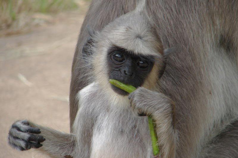 aapje - Sri Lanka