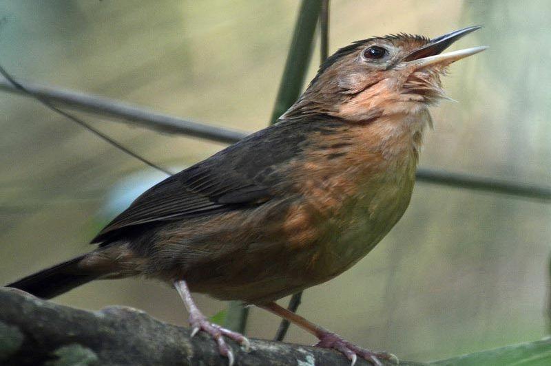 bruinkapjungletimalia - Sinharaja - Sri Lanka - foto: dhr. R.P. van Oosteroom