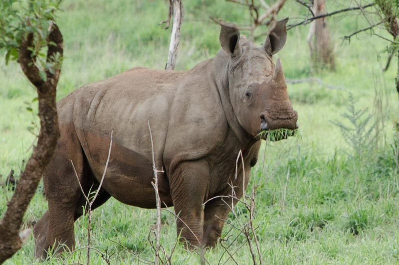 Zululand Rhino Reserve witte neushoorn - Zululand Rhino Reserve - Zuid-Afrika - foto: Agent
