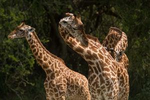 Akagera National Park - giraffe - Rwanda - foto: Akagera Game Lodge