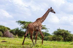 Amboseli National Park - giraffe - Kenia - foto: pixabay