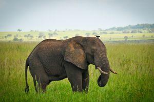 Kidepo Valley - olifant - Oeganda