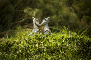 Shoebills - Murchison Falls - Oeganda - foto: Bakers Lodge