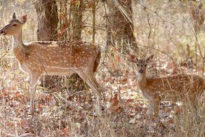 Bandhavgarh National Park - Herten - India - foto: flickr