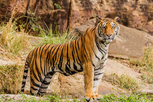 Bandhavgarh National-Park - Tijger - India - foto: flickr