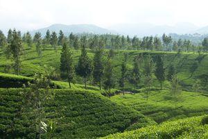 Bandung - Theeplantage - Java - Indonesie - foto: flickr