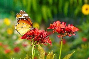 Bharatpur - Keoladeo - Vlinder - India - foto: pixabay