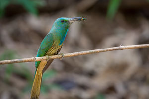 Blauwbaard Bijeneter - Nagarhole - India - foto: flickr