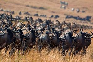 Bologonya Under Canvas - Serengeti - gnoes - Tanzania - foto: Bologonya Under Canvas
