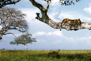 Queen Elizabeth National Park - boomklimmende leeuw - Oeganda