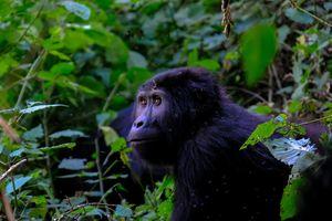Bwindi - gorilla - Oeganda - foto: unsplash