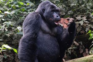 Gorilla in Bwdini, Oegenda - foto: klantreactie