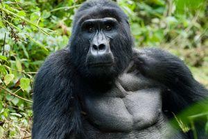 Bwindi - silverback gorilla - Oeganda - foto: unsplash