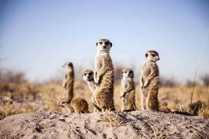 Camp Kalahari - meerkats - Makgadigadi - Botswana - foto: Camp Kalahari