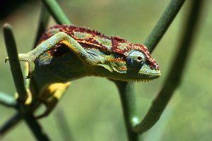 Chameleon - Oeganda - foto: pixabay