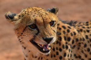 Cheetah - Etosha - Namibië - foto: pixabay