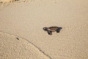 Denis Private Island Resort - baby turtle - Seychellen - foto: Denis Private Island Resort