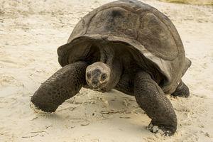 Denis Private Island Resort - giant tortoise - Seychellen - foto: Denis Private Island Resort
