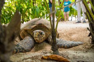 Denis Private Island Resort - hawksbill - Seychellen - foto: Denis Private Island Resort