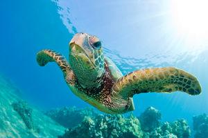 Denis Private Island Resort - sea turtle - Seychellen - foto: Denis Private Island Resort