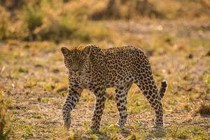 Ghoha Hills Savuti - luipaard - Chobe National Park - Botswana - foto: Ghoha Hills