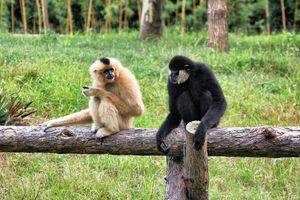 Gibbons - Bukit Lawang - Sumatra - Indonesie - foto: unsplash