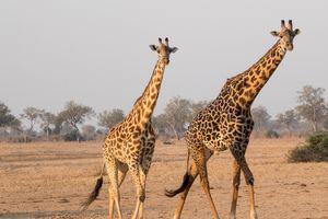 Giraffe - Zambia