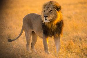 Goha Hills Savuti Lodge - leeuw - Savuti Botswana