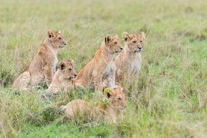 Governors Camp - leeuwen - Masai Mara - Kenia - foto: Governors Camp