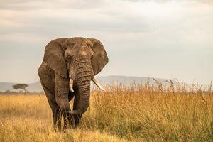 Governors Camp - olifant - Masai Mara - Kenia - foto: Governors Camp