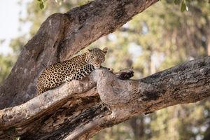 Ikuka Safari Camp - luipaard - Ruaha National Park - Tanzania - foto: Ikuka Safari Camp