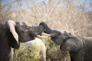 Ikuka Safari Camp - olifanten - Ruaha National Park - Tanzania - foto: Ikuka Safari Camp