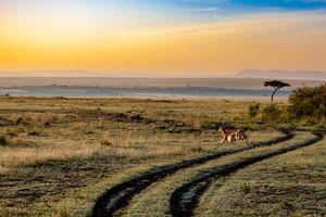 Impala - savanne - Kenia