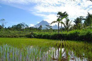 Indonesië - Yogyakarta - Merapi rijstvelden - foto: Daniel de Gruiter