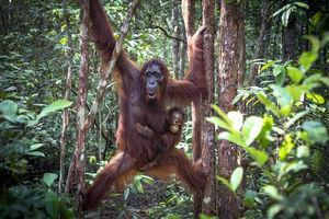 Kalimantan - Borneo - orang oetan - Indonesie - foto: flickr
