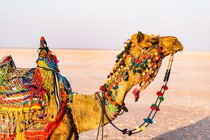 Kameel - Kamelen markt - Bikaner - Rajasthan - India - foto: unsplash