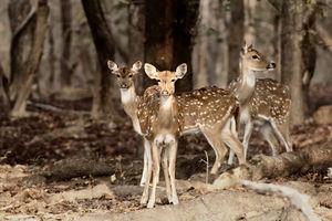Kanha Kisli Nationaal Park - Herten - India - foto: flickr