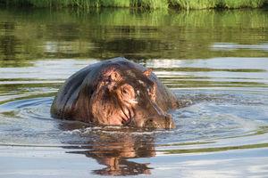 Kazile Island - nijlpaard - Zambezi - Namibie - foto: Divava Okavango Resort