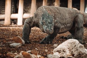 Komodo Varaan  - Komodo - Indonesie - foto: flickr