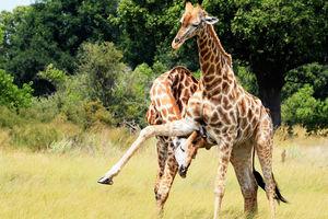 Kwando Lebala Camp - giraffe - Linyanti - Botswana