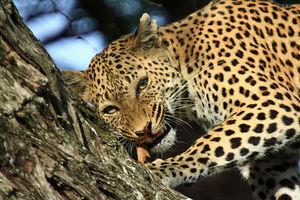 Kwando Lebala Camp - luipaard - Linyanti - Botswana