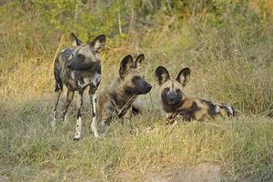 Kwando Lebala Camp - wilde honden - Linyanti - Botswana