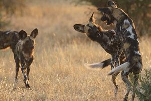 Kwihala Camp - wilde honden - Ruaha National Park - Tanzania - foto: Kwihala Camp