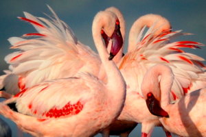 Lake Natron - flamingo - Tanzania - foto: Lake Natron Camp