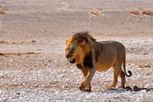 leeuw - Sossusvlei - Namibie - foto: pixabay