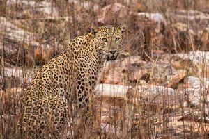 Luipaard - India - foto: unsplash