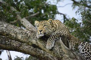 Luipaard - Kenia