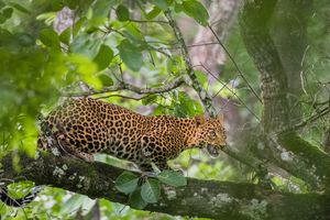 Luipaard - Nagarhole - India - foto: flickr