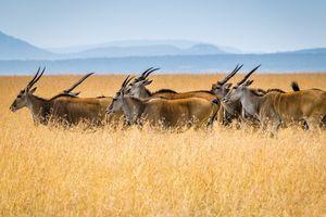 Masai Mara Game Reserve - antilope safari - Kenia - foto: unsplash