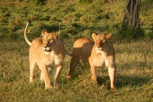 Masai Mara - leeuwen - Kenia - foto: pixabay